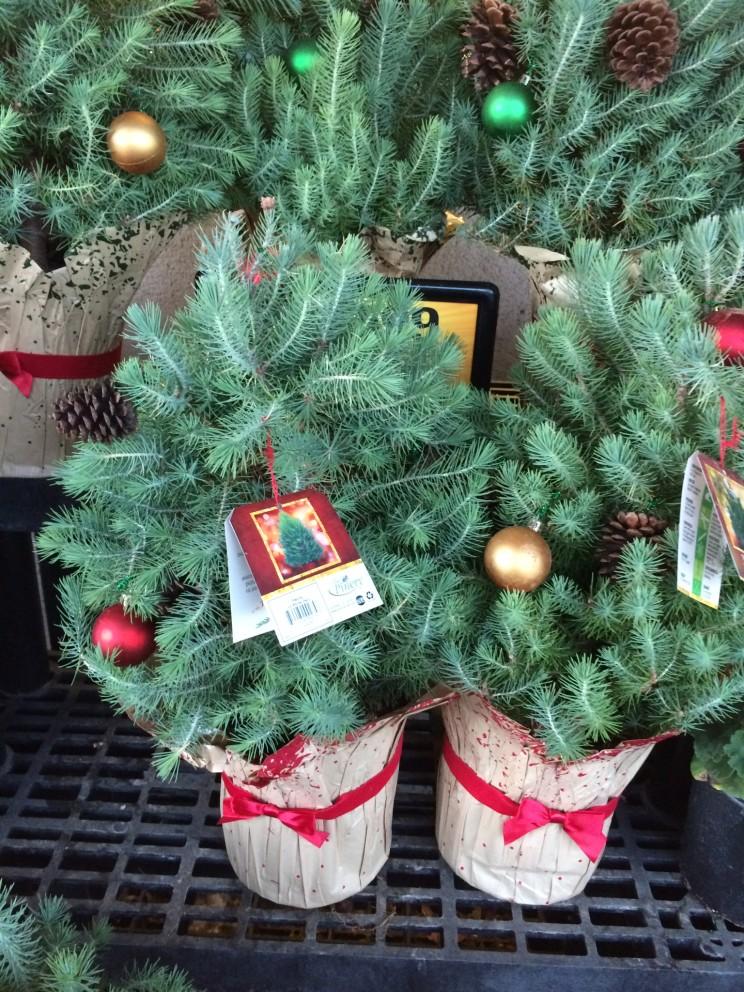 Kleine Weihnachtbäume warten auf ihre Käufer