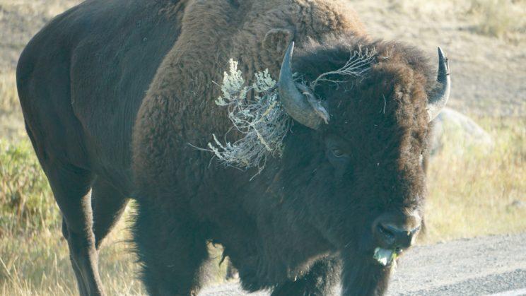 Bison mit Kopfschmuck